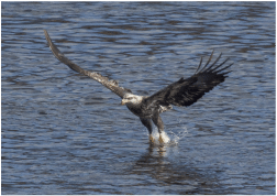 Bald Eagle flying into water