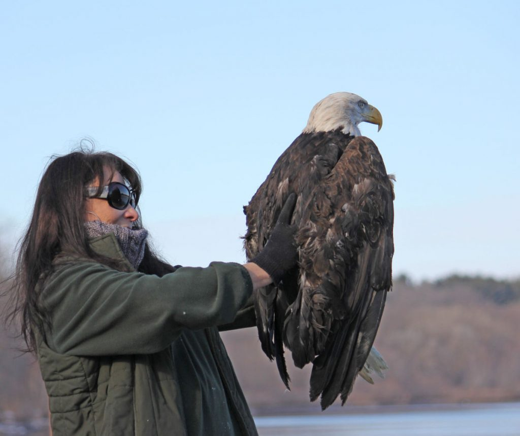 Marge Gibson expects to release as many as four rehabilitated bald eagles during Bald Eagle Watching Days in Sauk Prairie
